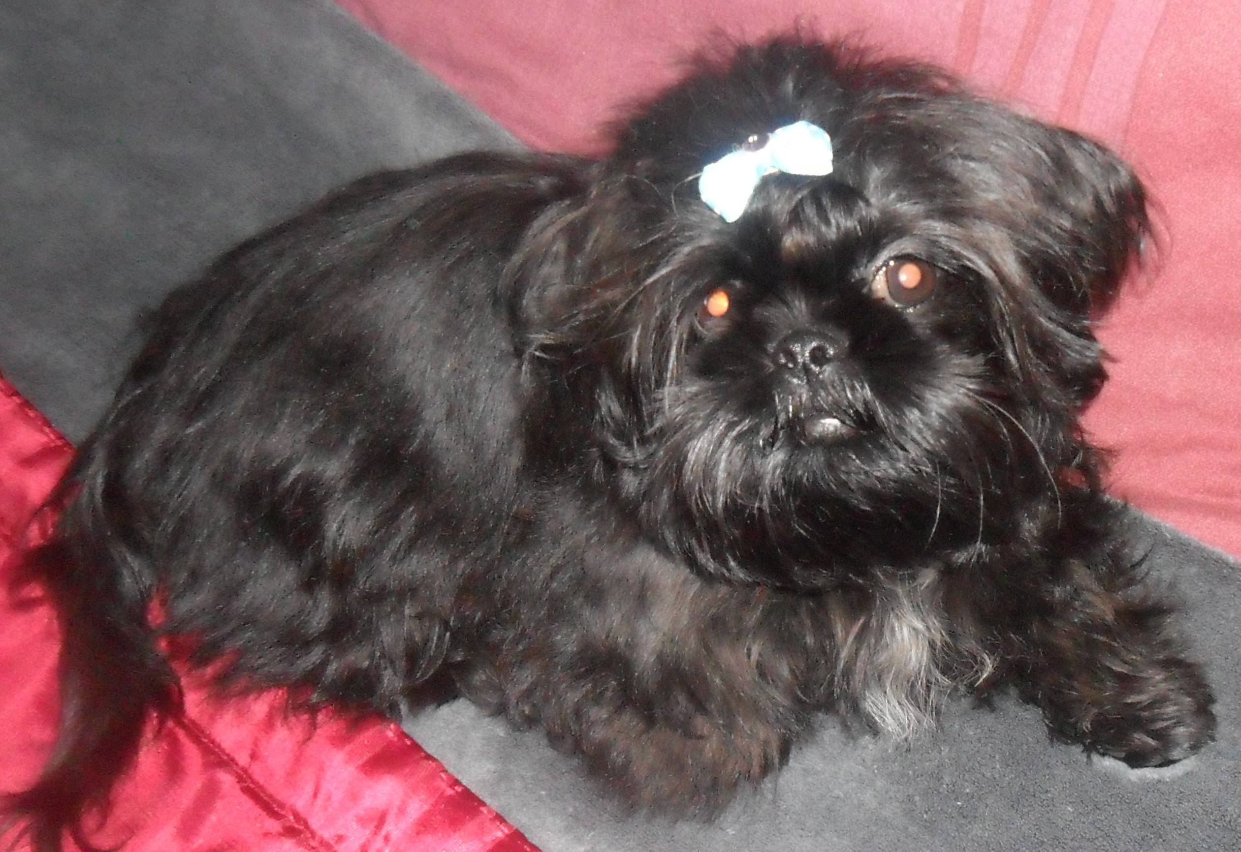 Displaying 19> Images For - Black Shorkie Dogs...